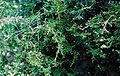 Chamaecyparis thyoides GSRC1.jpg