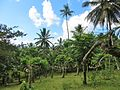 Champ d'ylang-ylang à Mayotte.jpg