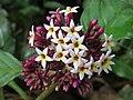 Chassalia curviflora flowers 16.jpg