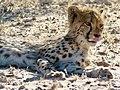 Cheetah (Acinonyx jubatus) juvenile ... (51005748772).jpg
