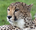 Cheetah Head 4 (4506426640).jpg
