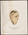 Chenalopex impennis - ei - 1700-1880 - Print - Iconographia Zoologica - Special Collections University of Amsterdam - UBA01 IZ17800153.tif