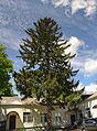 Cherkasy spruce.jpg
