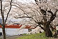 Cherry Trees on the Hinokinai River - panoramio - Koichi Shibata.jpg