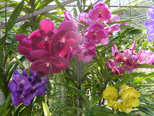 Chiang Mai Orchids P1110343