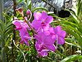 Chiang Mai Orchids P1110381.JPG
