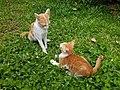 Chiang Mai kitties - 2017-07-09 (003).jpg