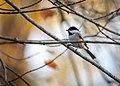 Chickadee Perched in My Maple Tree (49052400506).jpg