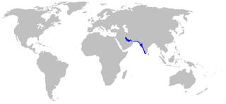 Arabian carpetshark Species of shark