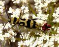 Chlorophorus varius01.jpg