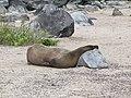 Christmas Iguanas - Marine Iguanas - Espanola - Hood - Galapagos Islands - Ecuador (4871404464).jpg