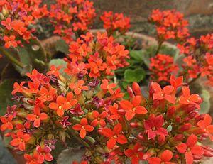 Kalanchoe blossfeldiana - Dark red variety of Kalanchoe blossfeldiana