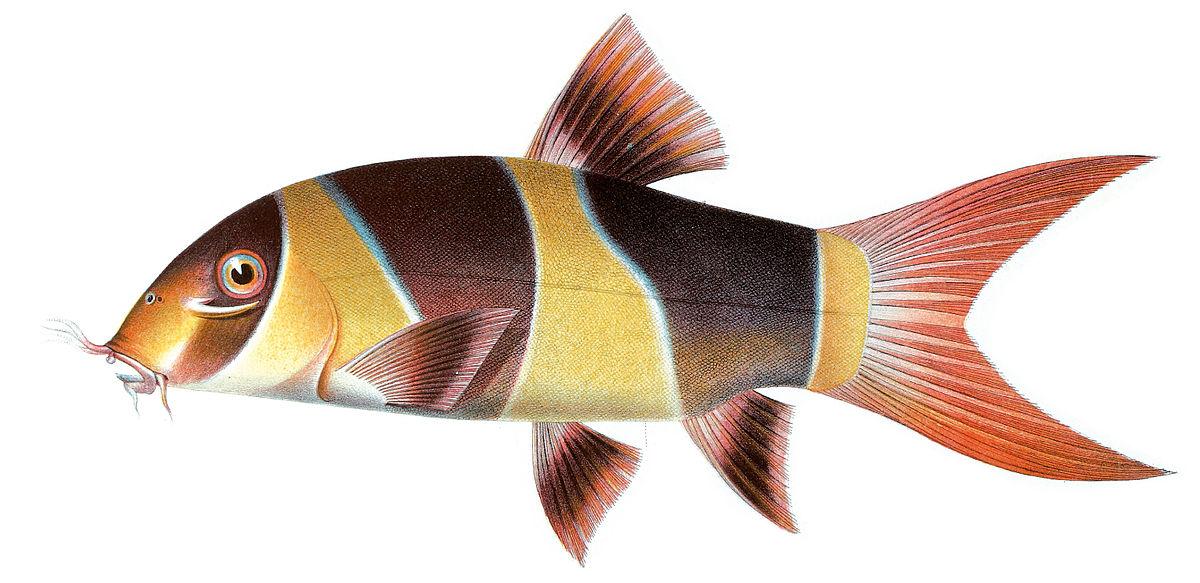 Clown loach wikipedia for Clown fish scientific name