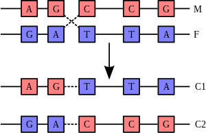 The process of recombination involves the brea...