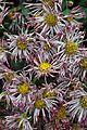 Chrysanthemum - Science City - Kolkata 2012-01-11 8025.JPG