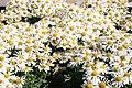 Chrysanthemum Corrine 3zz.jpg