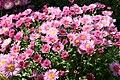 Chrysanthemum Madeline 1zz.jpg