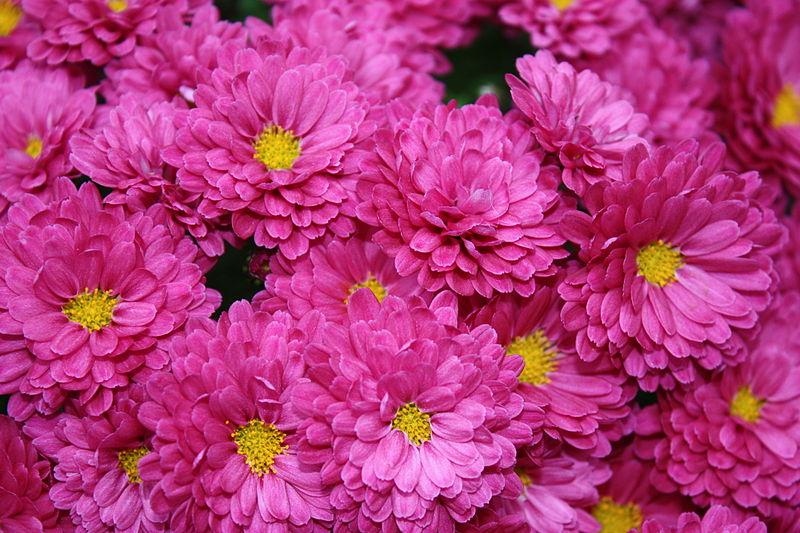 File:Chrysanthemumkjfmartin.jpg