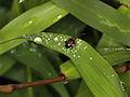 Chrysomelidae (6816211219).jpg