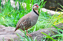 Alectoris chukar nel Weltvogelpark Walsrode (Parco degli Uccelli di Walsrode, Germania)