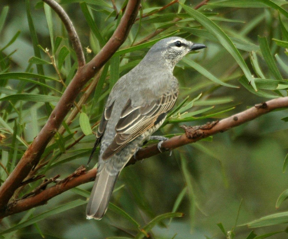 Common cicadabird - Wi...