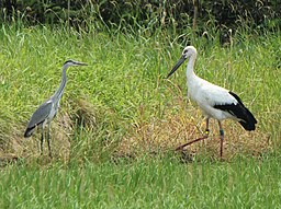 Ciconia boyciana and Ardea cinerea.JPG