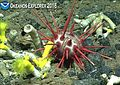 Cidaroid sea urchin in Marianas deep waters.jpg