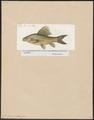 Cirrhina indica - 1817-1841 - Print - Iconographia Zoologica - Special Collections University of Amsterdam - UBA01 IZ15000068.tif