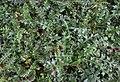 Cirsium acaule.jpg