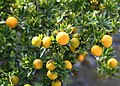 Citrus × aurantium 8112A.jpg