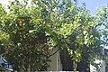 Citrus lemon-2181.jpg