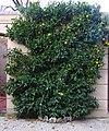 Citrus sinensis Lucca 01.jpg