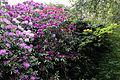 City of London Cemetery - flowering shrubs 07.jpg