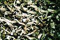 Cladonia coniocraea-3.jpg