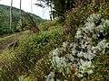 Cladonia portentosa 56524878.jpg