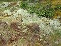 Cladonia portentosa 73845942.jpg