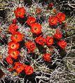 Claretcup hedgehog cactus at Lost Horse Mine.jpg