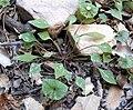 Claytonia perfoliata ssp intermontana 2.jpg