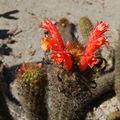 Cleistocactus acanthurus0001.jpg