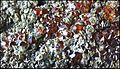 ClinochloreEtGrenatItaliePreovenanceAlaRefMGL35323 MuséumHistoireNaturelleLille GLAM2016 PhotoLamiot 11.jpg