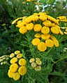 Close-up photograph of Tansy flowers, Tanacetum vulgare flowers.jpg