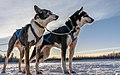 Close-up two sled dogs, Alaska (40340351725).jpg