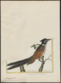 Coccystes coromandus - 1700-1880 - Print - Iconographia Zoologica - Special Collections University of Amsterdam - UBA01 IZ18800267.tif