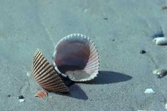 Veneroida - Empty cockle shell, family Cardiidae