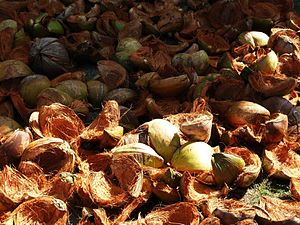 Coconut Shells Drying in the Sun