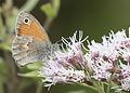 Coenonympha pamphilus - Small heath 09.jpg