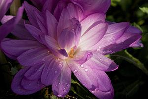 external image 300px-Colchicum_Autumnale_Flower.jpg