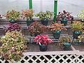 Coleus plant varieties - Des Moines Botanical Center - Iowa, USA.jpg