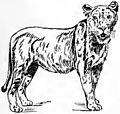 Collier's Lion - lioness.jpg