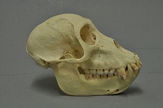 Black colobus - Colobus satanas skull